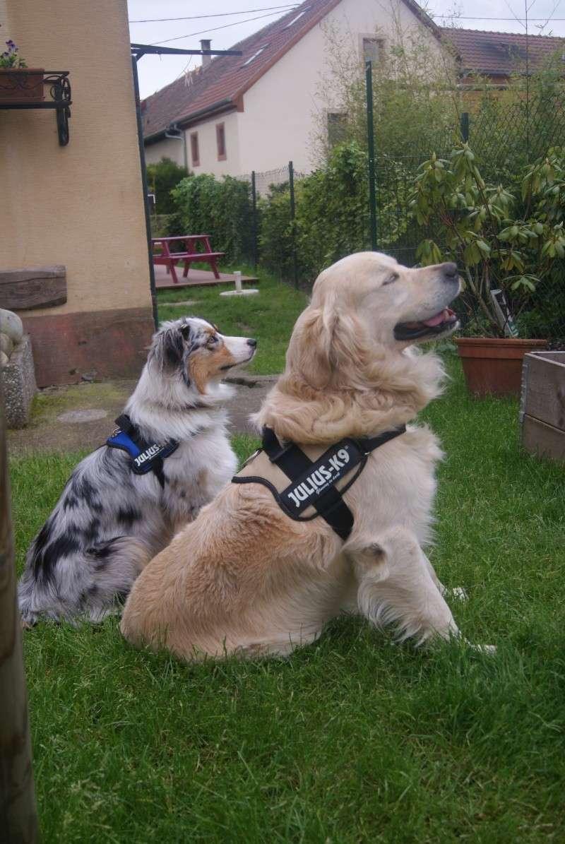 Vos chiens et leurs harnais! Photo  - Page 2 Photo_10