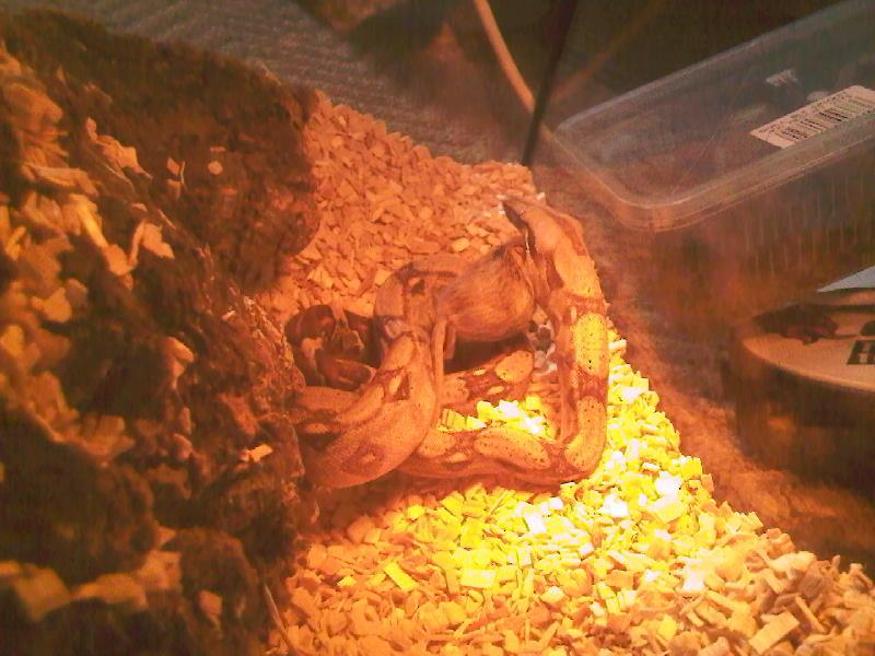 Happy Boa (feeding) Photo-22