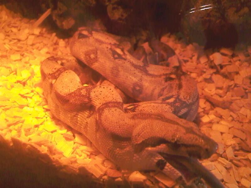 Happy Boa (feeding) Photo-23