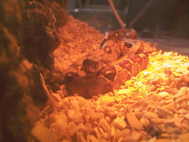 Happy Boa (feeding) Photo-25