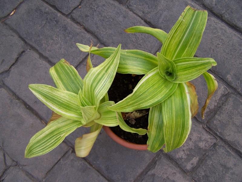 Schefflera Pueckleri A_00810
