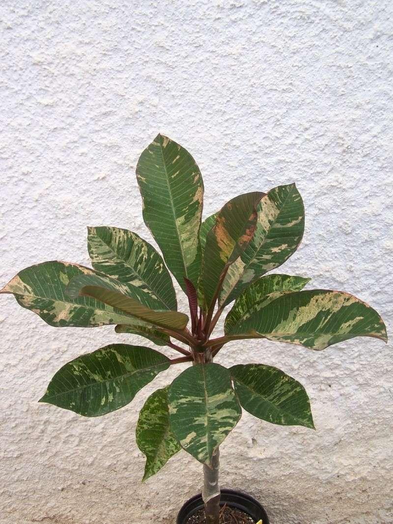 """Plumeria """"Maya"""" A_17210"""
