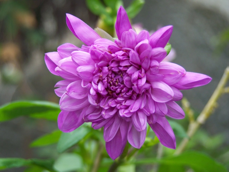 Dahlia imperialis - Page 2 A_27710