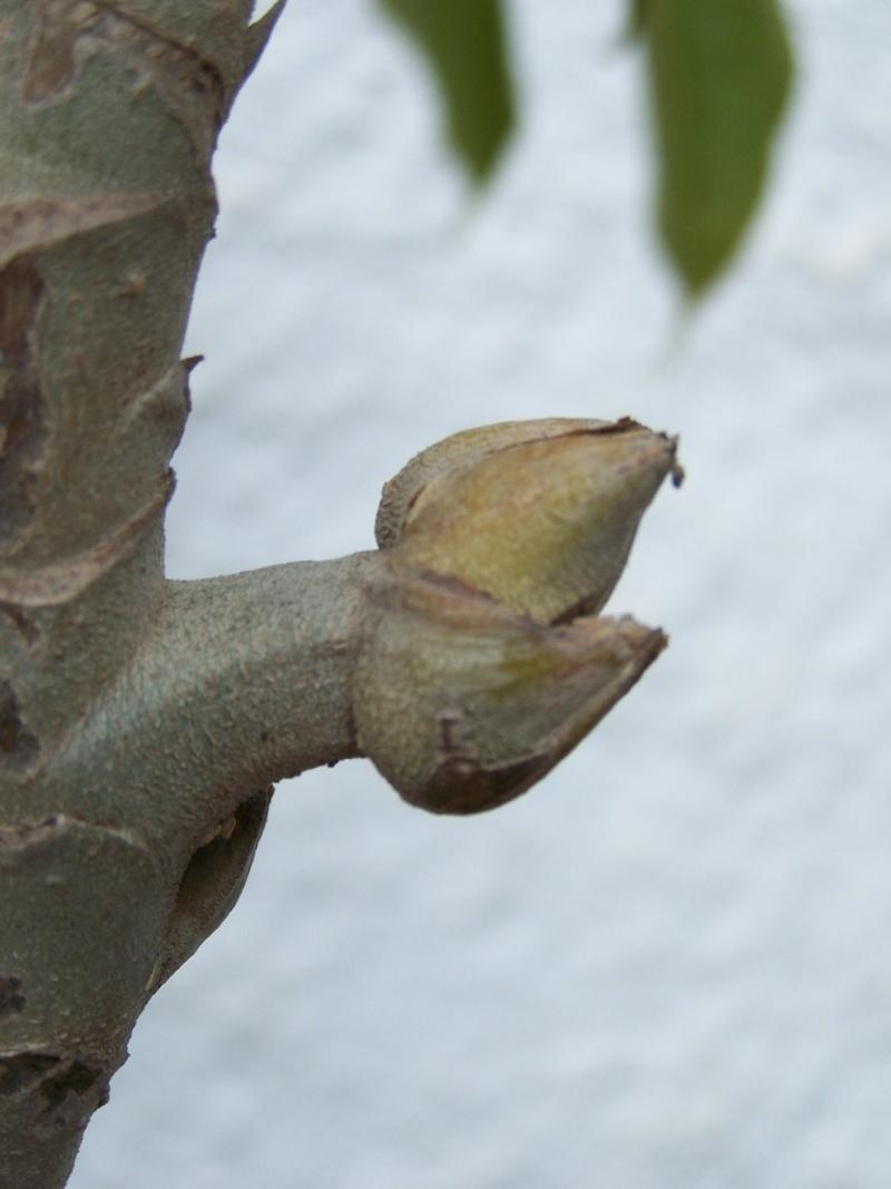 Schefflera Pueckleri Tupida11