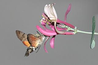 Soutenons les espèces oubliées et pourtant si joviales - Page 2 Morosp10
