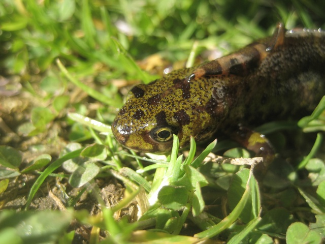 herping du 18 mars 2009 - amphibiens... Img_3210