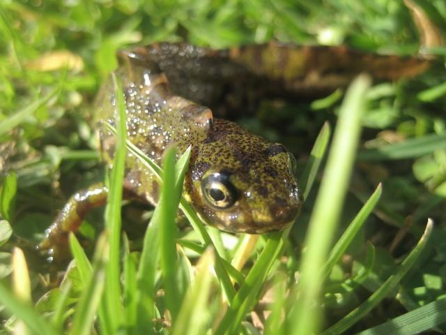herping du 18 mars 2009 - amphibiens... Img_3211