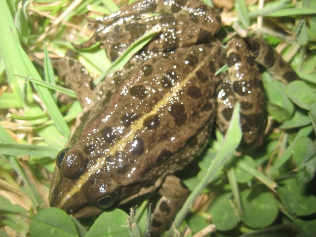 herping du 18 mars 2009 - amphibiens... Img_3212