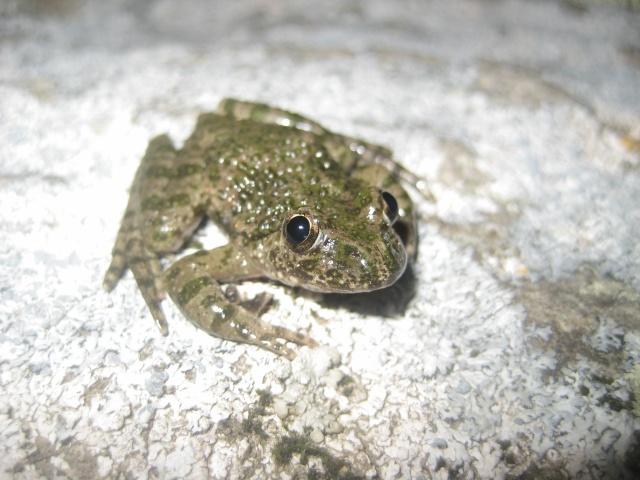 herping du 18 mars 2009 - amphibiens... Img_3310