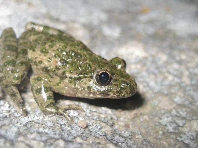 herping du 18 mars 2009 - amphibiens... Img_3313
