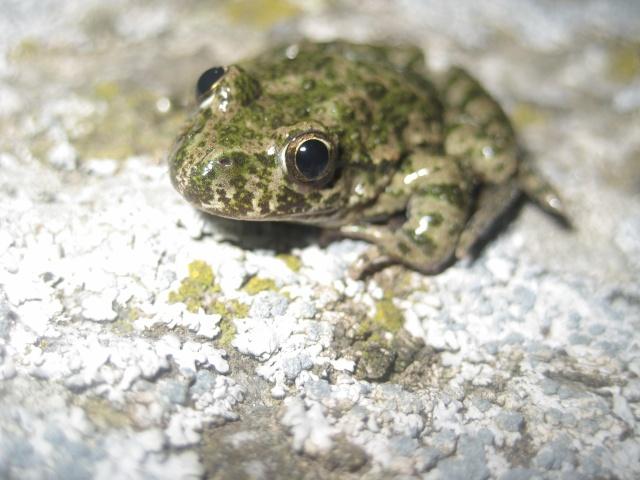 herping du 18 mars 2009 - amphibiens... Img_3314