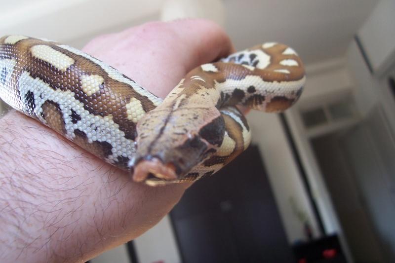 Python Curtus Brongersmai... Photo_39