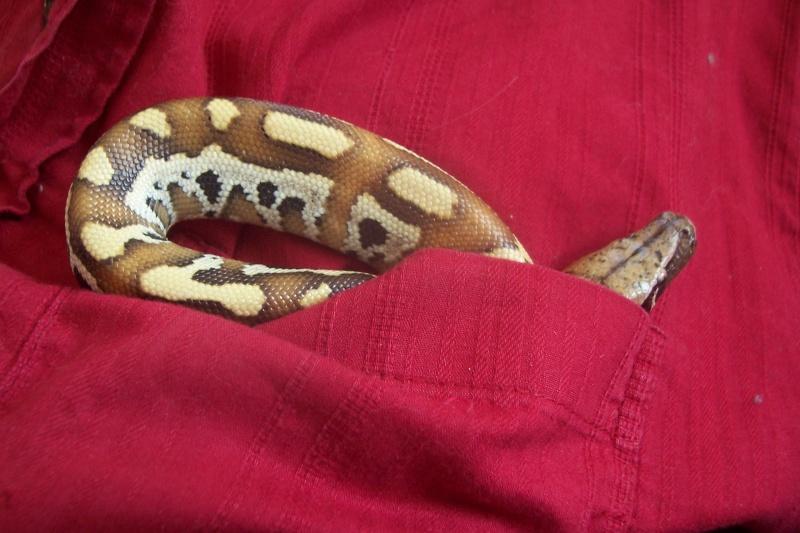 Python Curtus Brongersmai... Photo_40