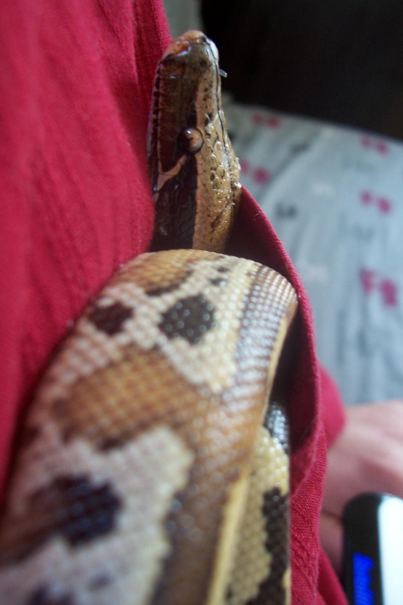 Python Curtus Brongersmai... Photo_41