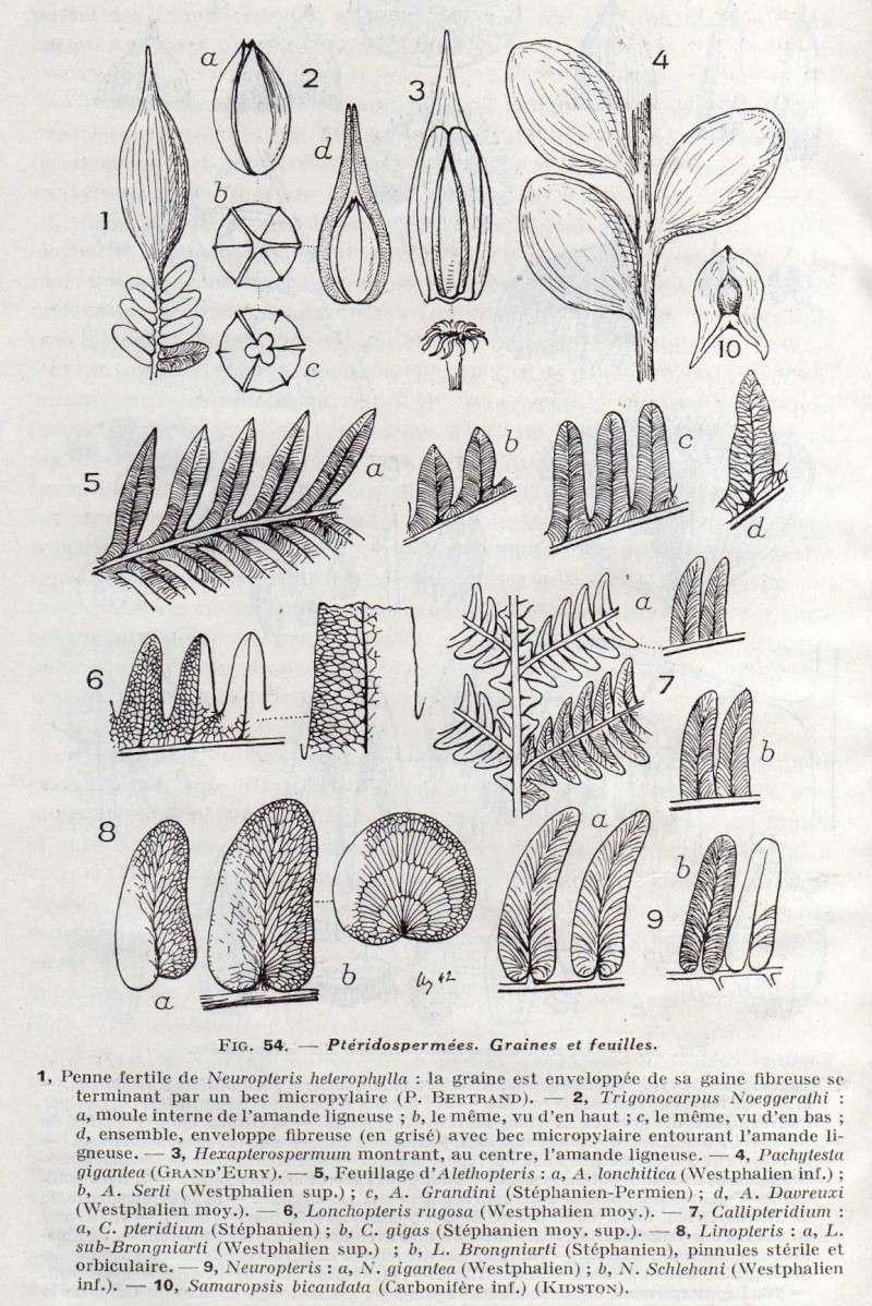 Trigonocarpus  Pachytesta  Hexagonocarpus  Img17410