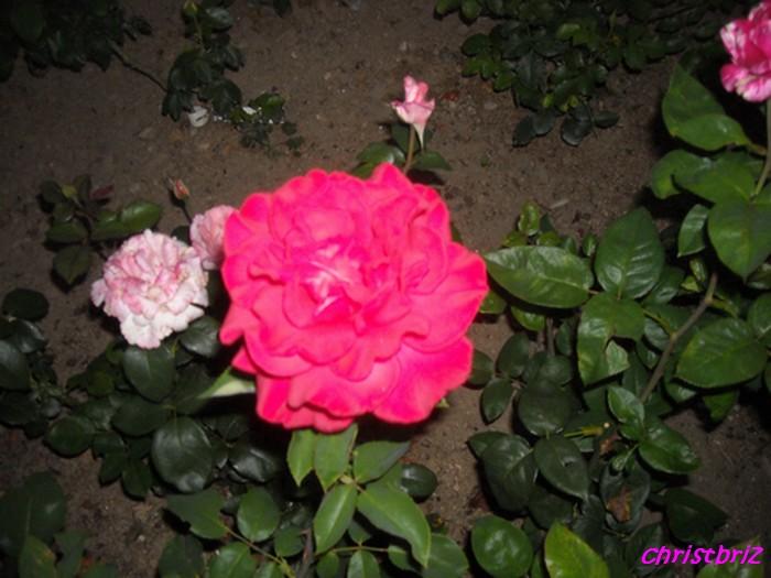 J'adore les roses Roses_10