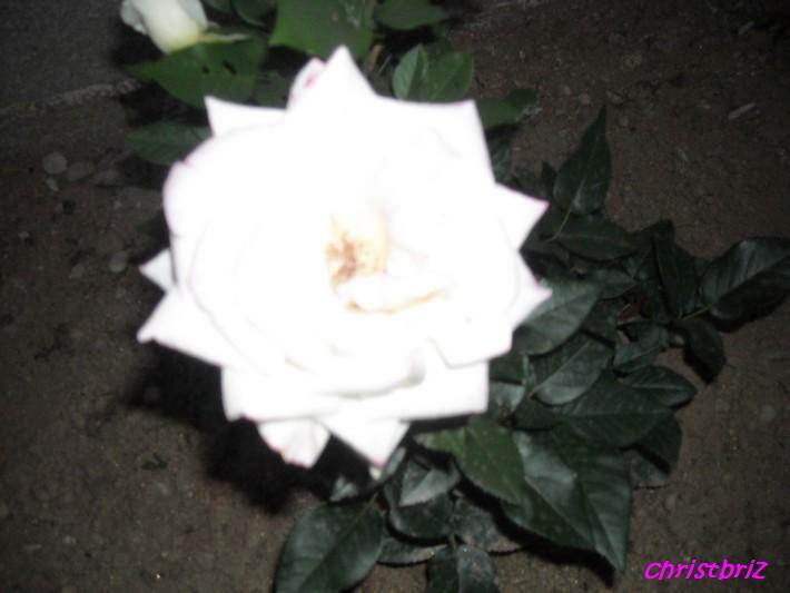 J'adore les roses Roses_12