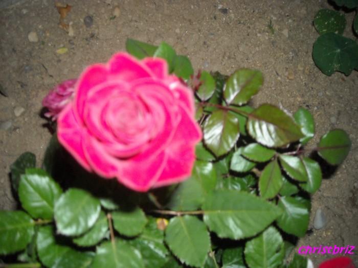 J'adore les roses Roses_13