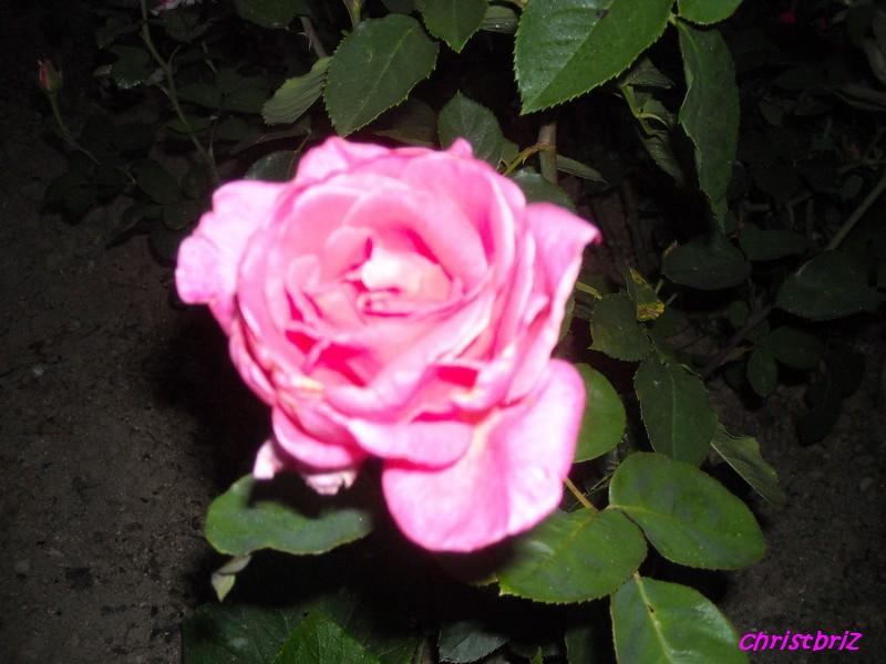 J'adore les roses Roses_14