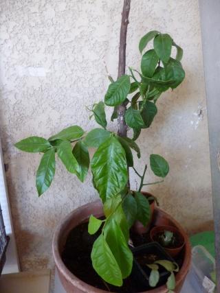 Quelques plantes d'intérieur... - Page 5 Mon_ci10