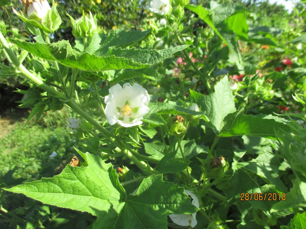 Kitaibelia vitifolia 30_06_41