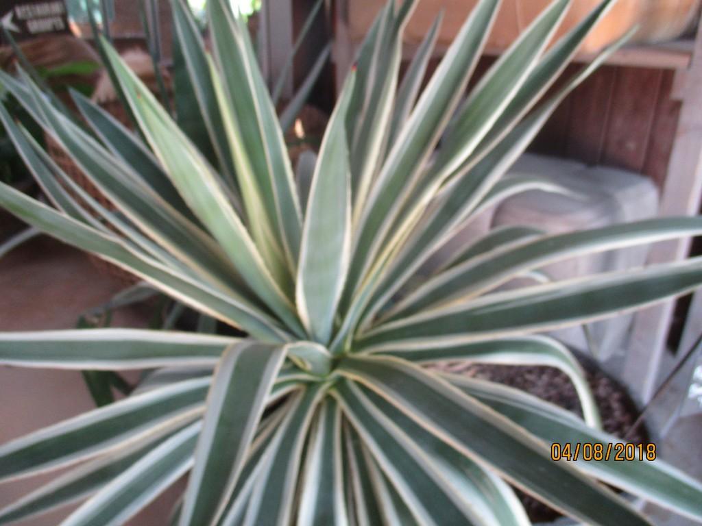 Plantes à feuillage panaché  Terra223