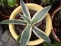 des kipics , des sedums des succulentes etc Agave_10