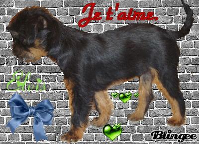 Griffon bruxellois 47520810