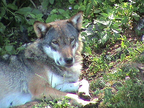 Les loups...... - Page 2 28396710