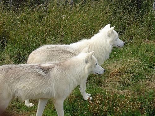 Les loups...... - Page 2 60893910