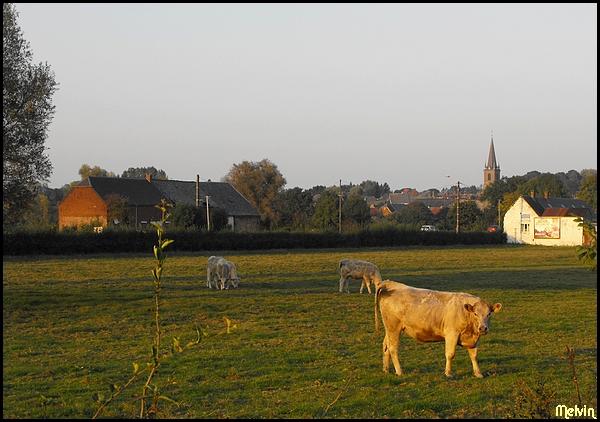 Au pays des Ch'tis Vaches10