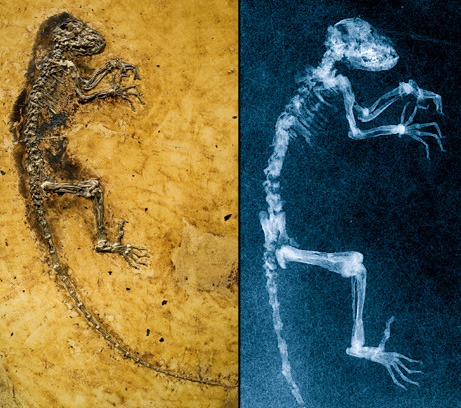 """MISSING LINK"" FOUND: New Fossil Links Humans, Lemurs? Slikic10"