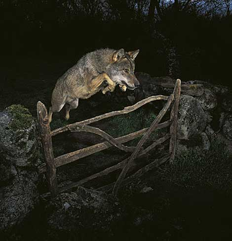 Falsos mitos y leyendas sobre el lobo ibérico 12561910