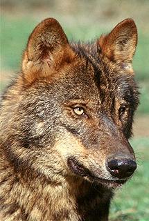 Falsos mitos y leyendas sobre el lobo ibérico 12562911