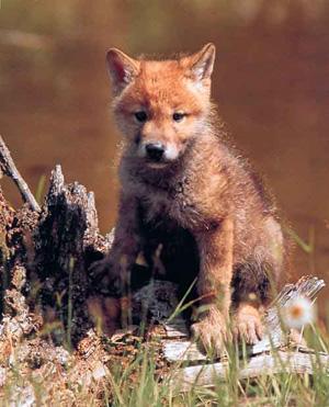 Falsos mitos y leyendas sobre el lobo ibérico L2110