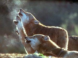 Falsos mitos y leyendas sobre el lobo ibérico L2710