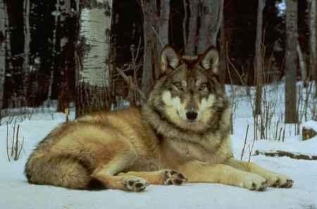 Falsos mitos y leyendas sobre el lobo ibérico L2810