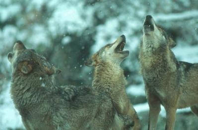Falsos mitos y leyendas sobre el lobo ibérico Lobo_910