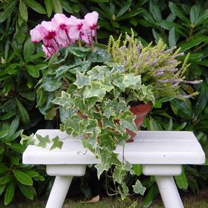 quelles fleurs pour jardinieres d hiver?? 1_cycl10