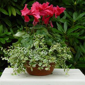 quelles fleurs pour jardinieres d hiver?? 1_cycl12
