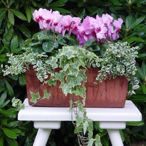 quelles fleurs pour jardinieres d hiver?? 2_cycl10