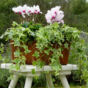 quelles fleurs pour jardinieres d hiver?? 2_cycl11