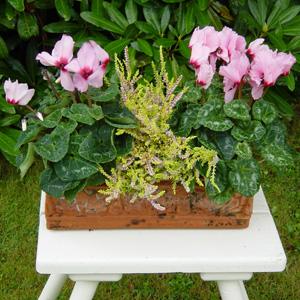 quelles fleurs pour jardinieres d hiver?? 2_cycl12
