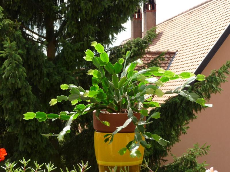 schlumbergerra P1010326