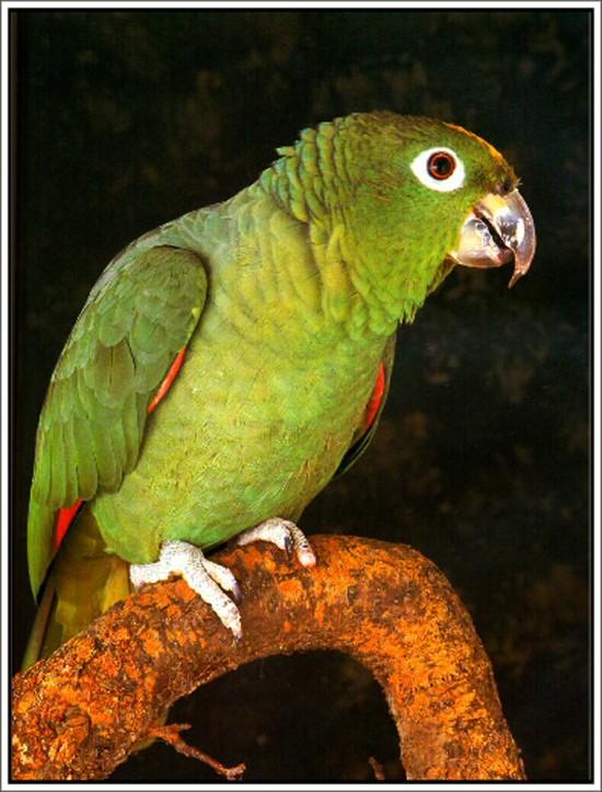 Amazon Parrot Care - Guide to a Happy Healthy Amazon Amazo10