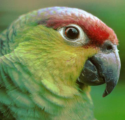 Amazon Parrot Care - Guide to a Happy Healthy Amazon Amazon10
