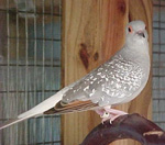 DIAMOND DOVES (Geopelia Cuneate) Diamon11