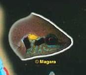 question pour experts Tanganyika  Magara10