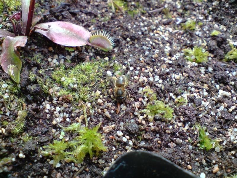 abeilles +++ (resolu) P2505010