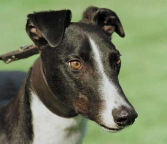 DROOPYS VIERY Greyho19